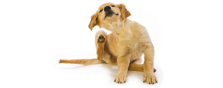 «Бравекто» полностью уничтожает эктопаразитов, которые находятся на теле животного