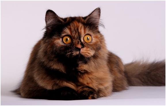 Британская длинношерстная кошка с черепаховым окрасом