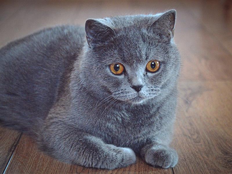 Мраморный британец: особенности и аномалии окраса, повадки кошки и условия содержания