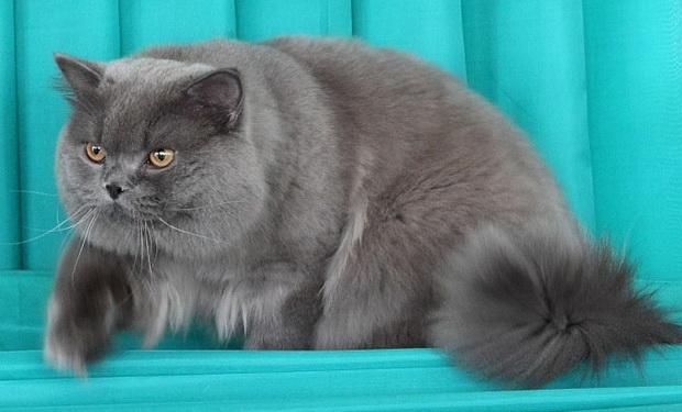 Британские коты полны самообладания, однако при неправильном обращении могут рассердиться