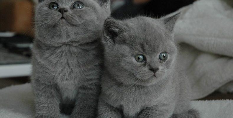 Британские котята имеют весьма тяжелый вес