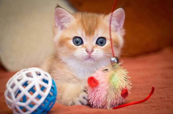 Британские котята очень любят поиграть, поэтому нужно запастись не одной игрушкой