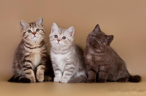 Британские котята: уход и воспитание, и кормление
