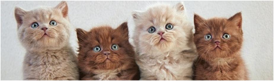 Британские кошки очень умные, сообразительные, очаровательные создания, которые не требуют особого ухода и подойдут занятым людям