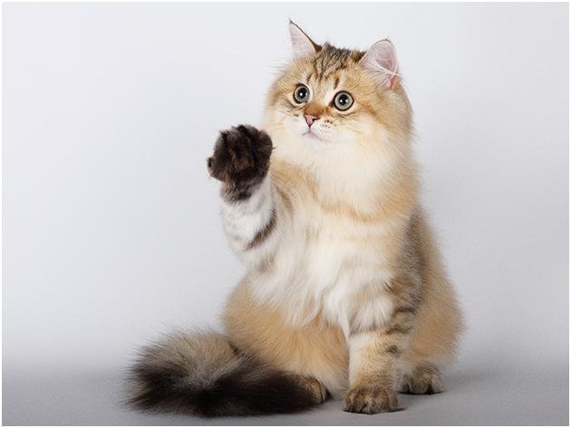 Британские кошки придут за лаской только тогда, когда сами этого захотят