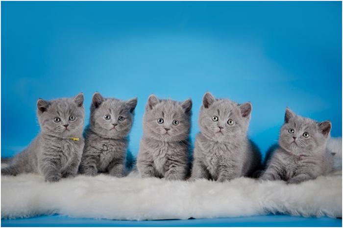Британские кошки умные животные с характером, поэтому приобретая такого малыша, стоит заняться его воспитанием сразу, как только он появился в доме