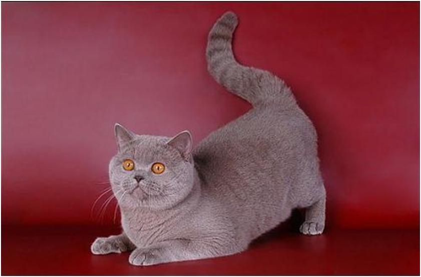 Во время половой охоты поведение кошки меняется, она становится ласковой, навязчивой и громко призывает кота