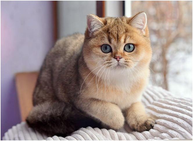 В золотом окрасе не допускается серого подшерстка. Кошки являются дефектными и выбраковываются
