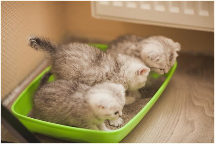 В питомнике кошки учат котят чистоплотности, поэтому в новый дом малыши приходят со знаниями туалета