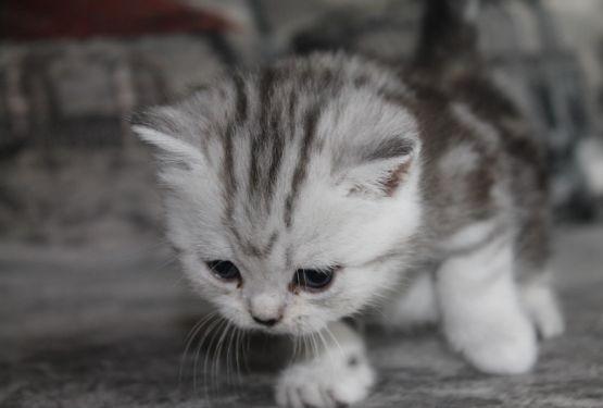 До двух месяцев котята должны обязательно питаться материнским молоком