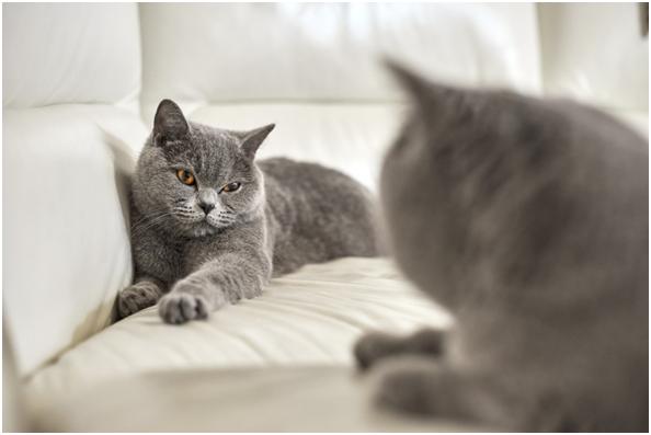 Знакомства кота и кошки может быть не всегда идеальным, а если кошка с характером, то придется поискать другого жениха