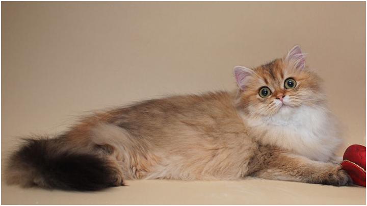 Золотой текированный окрас британской длинношерстной кошки