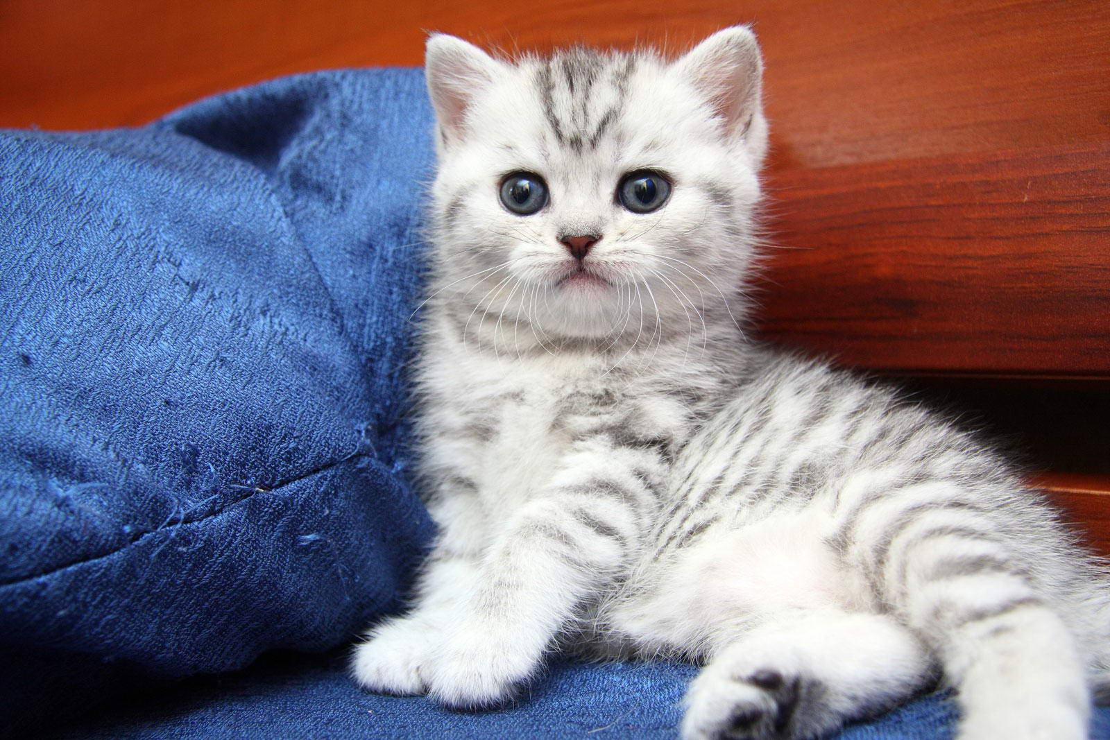 Идеальным возрастом для переезда котенка в новую семью считается 3 месяца