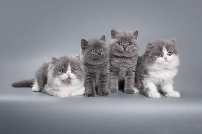Котята британской короткошерстной и британской длинношерстной кошки