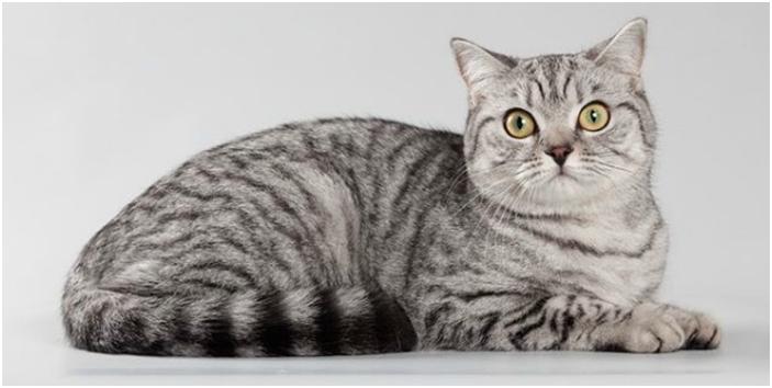 Кошки с окрасом вискас стали популярными после выхода на телеэкраны рекламного ролика корма «Вискас»