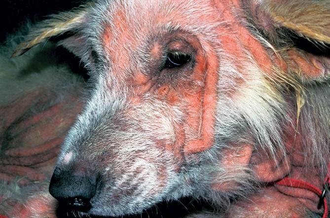 Малассезия у собаки в запущенной форме
