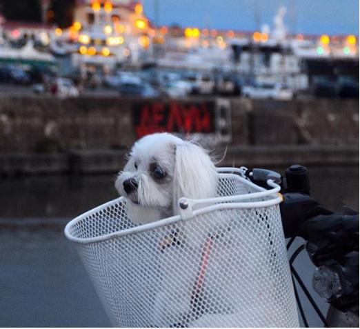Мальтийская болонка — замечательный выбор как для начинающего собаковода