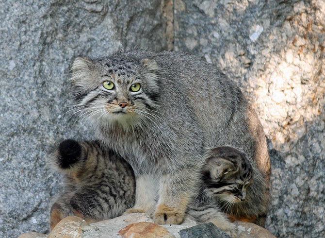 Манул с котятами
