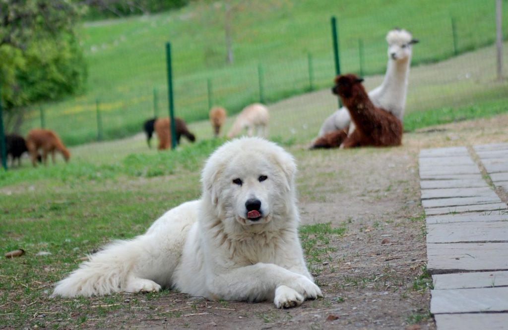 Маремма имеет единственный цвет шерсти - белый