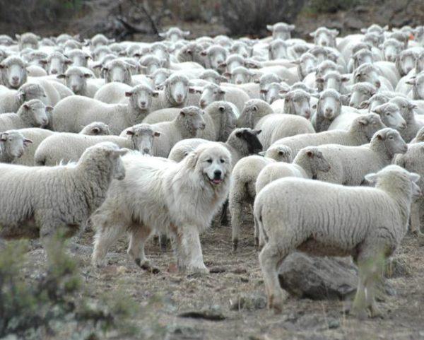 Маремма на выпасе скота