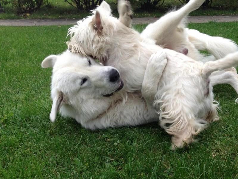 Маремма хорошо сходится с собаками прочих пород и другими животными