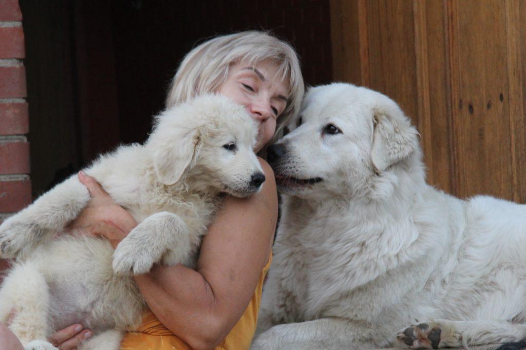 Мареммо-абруццкая овчарка признает только одного хозяина