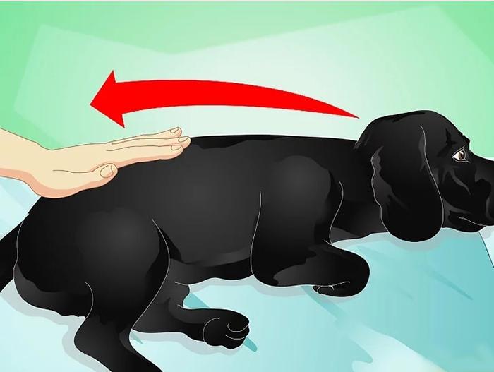 Массаж начинается с поглаживания собаки от головы к хвосту