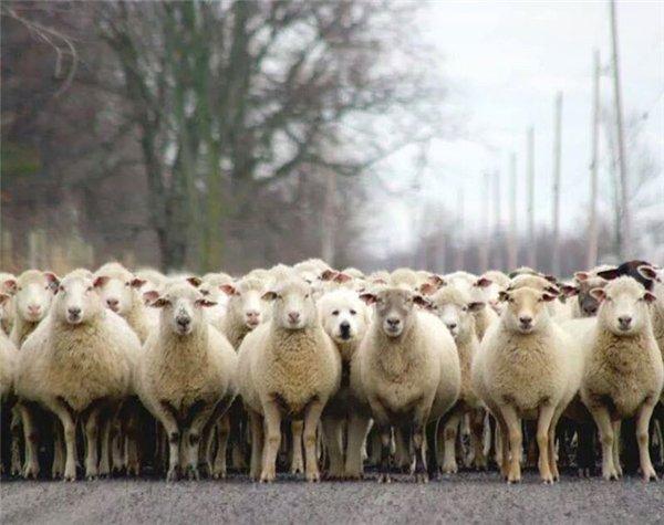 Миссией мареммы является охрана и выпас скота