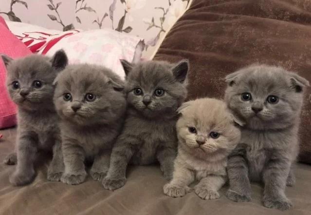 Перед покупкй котенка важно изучить его родословную и пообщаться с заводчиком
