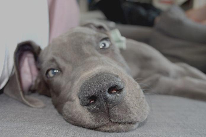 """После принятия таблеток """"Бравекто"""" собака может столкнуться с некоторыми побочными эффектами препарата"""