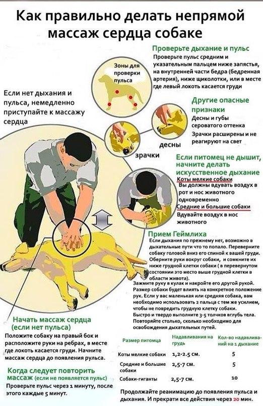 Правильное проведение непрямого массажа сердца собаке
