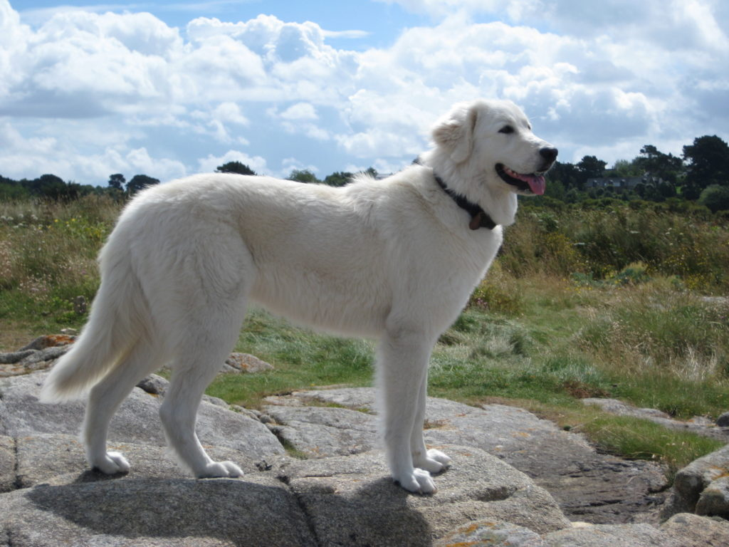 Происхождение Мареммо-абруццкой овчарки остается загадкой для собаководов и по сей день