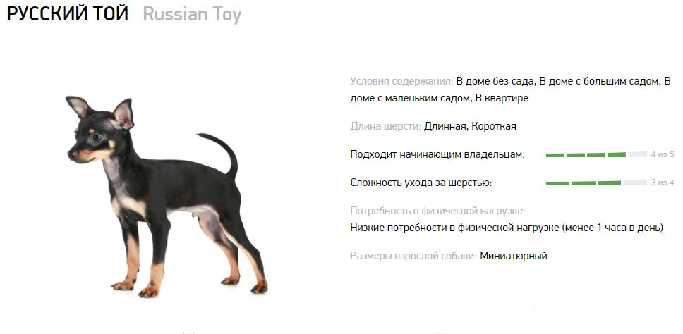 Русский той-терьер отличается добрым и веселым характером
