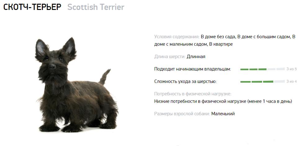 Скотч-терьер использовался для охоты на барсука и иных животных в лесах