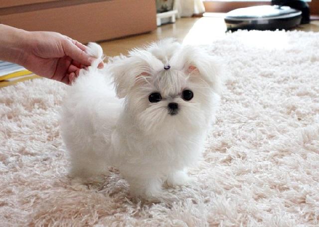 Собаки породы мальтезе подвижны и активны