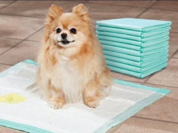 Собаку необходимо приучить к пеленке или лотку