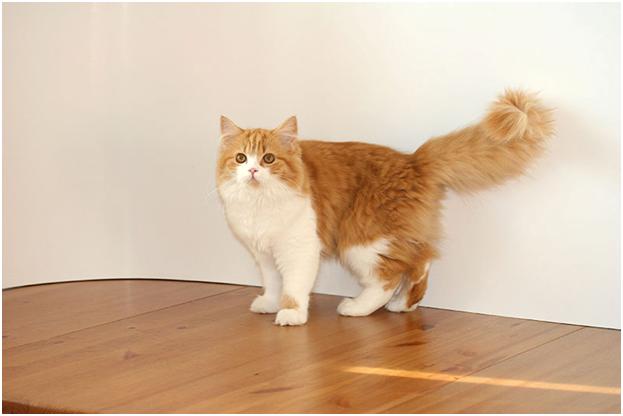 У кошек биколорного окраса белый цвет не должен превышать половины тела