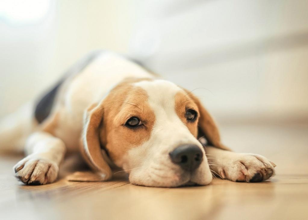 У 14% собак отмечалось отсутствие аппетита после приема препарата