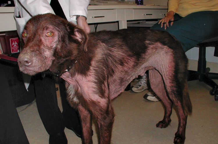 atopic dermatitis in dogs - 707×482