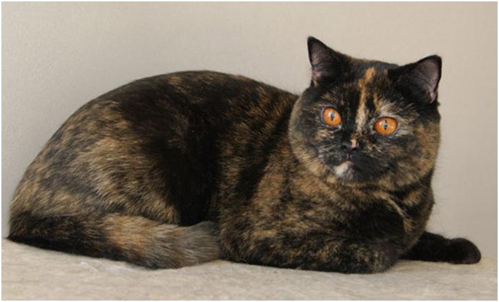Черепаховым окрасомобладают в основном только кошки. Коты редко появляются со сложным черепаховым оттенком, при этом из-за ошибки гена, они являются бесплодными
