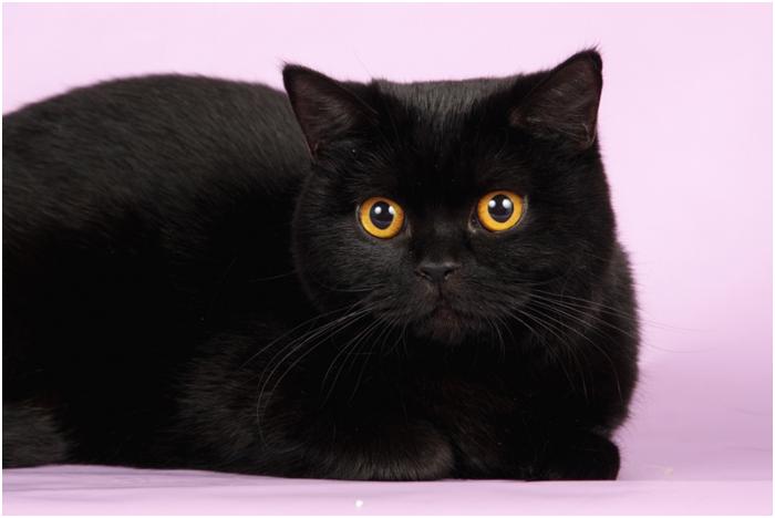 Эффектная черная окраска шерсти идеально сочетается с янтарным цветом глаз