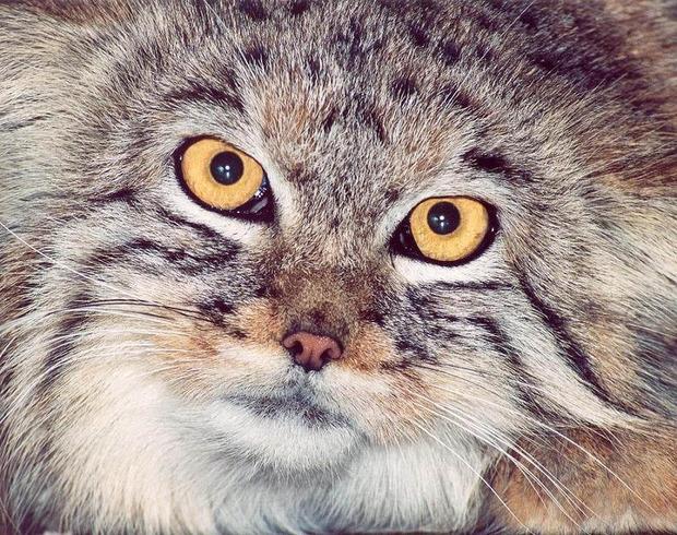 Яркое отличие от домашних сородичей: у паллассова кота зрачки от света не сужаются