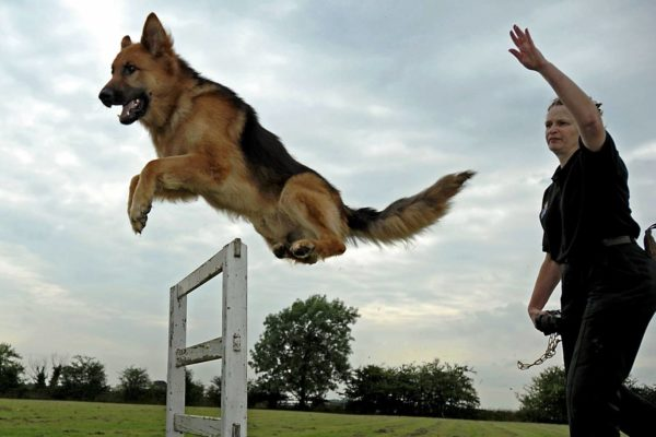 Благодаря ассоциативным способностям собаки легко обучаемы