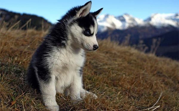 Социализация крайне важна для щенка хаски