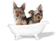 Перед купанием следует обезопасить ушные раковины собаки