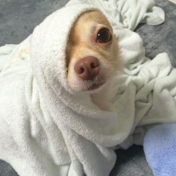Сразу после мытья следует закутать животное в полотенце