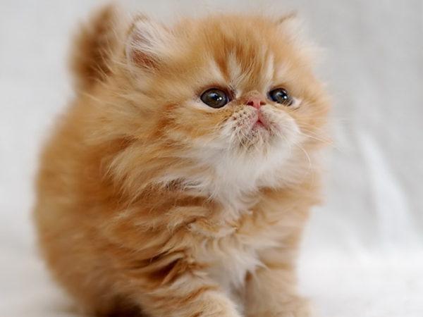 Котят персидской породы купают чаще других