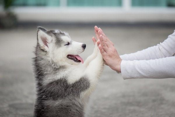 Налаживать контакт с щенком нужно уверенно