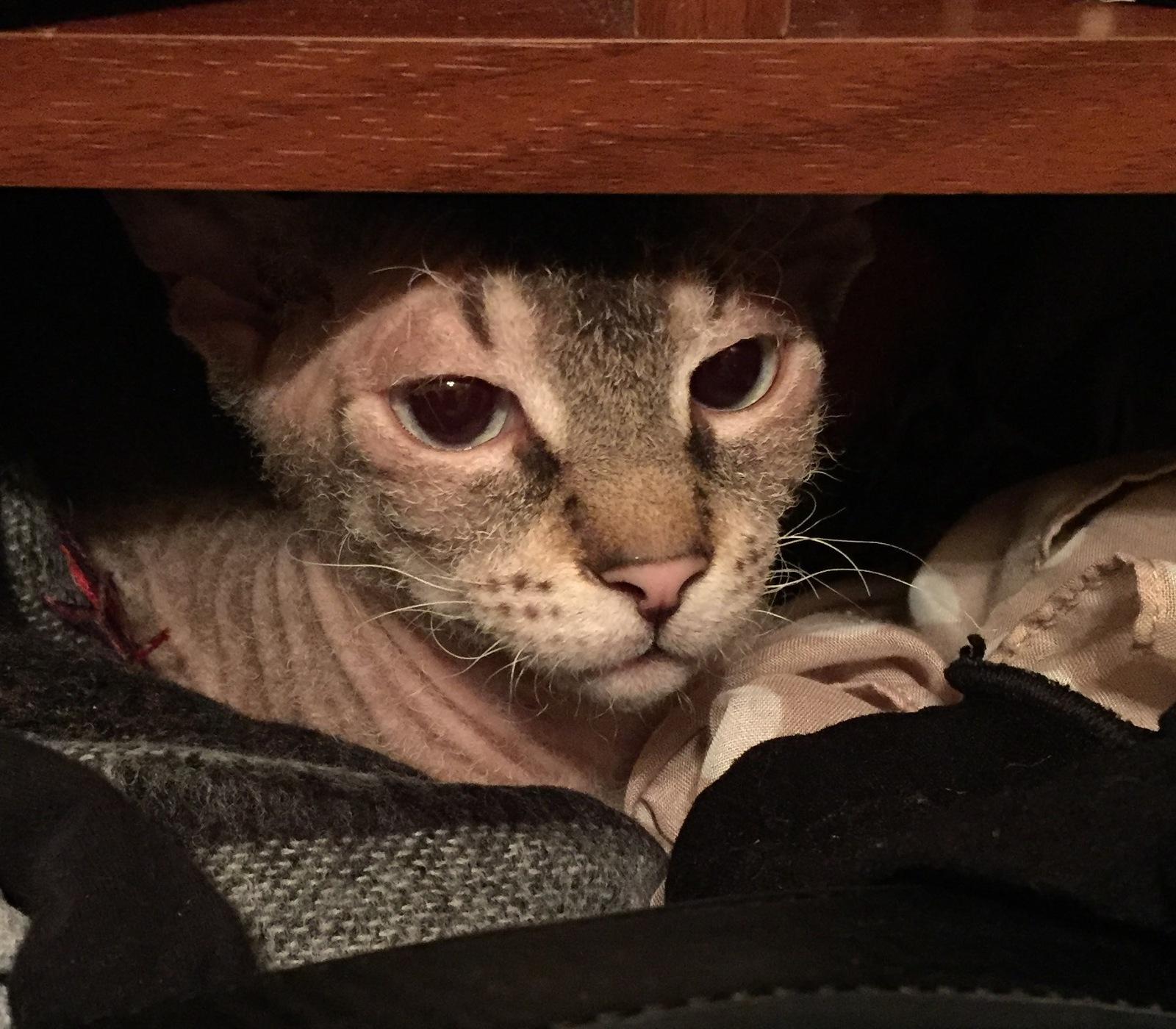 Платяной шкаф является излюбленным местом для окота среди представителей кошачьих