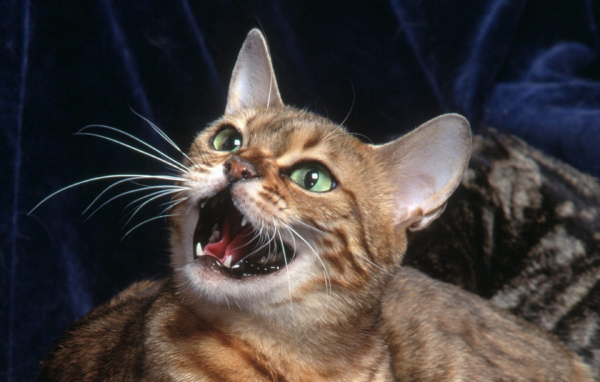 Коты способны произносить 16 звуков